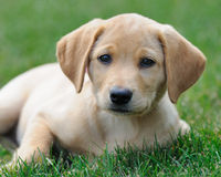 Yellow labrador puppy on lawn Stock Photography