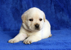 Yellow labrador puppy laying on the blue background Royalty Free Stock Images