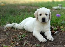 Yellow labrador puppy laying in the garden Royalty Free Stock Images