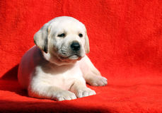 A yellow labrador puppy laying on red background Stock Image
