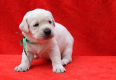 A yellow labrador puppy laying on red background Royalty Free Stock Photography