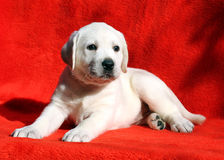 A yellow labrador puppy laying on red background Royalty Free Stock Images