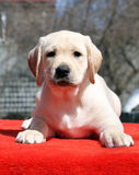A yellow labrador puppy laying on red background Stock Images