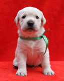 The yellow labrador puppy laying on red background Stock Photos