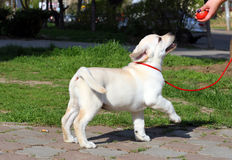 Yellow labrador puppy learning for dog show Royalty Free Stock Photo