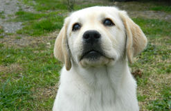 Yellow labrador puppy looking Stock Photography