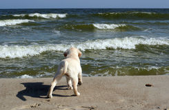 Yellow labrador puppy looking at the sea Royalty Free Stock Photo