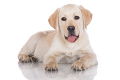 Yellow labrador puppy lying down Stock Photography