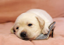 Yellow labrador puppy newborn Stock Image