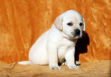 A yellow labrador puppy on orange background Royalty Free Stock Photography