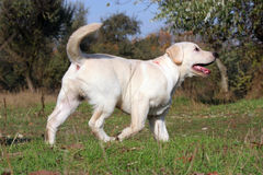 Yellow labrador puppy in the park Royalty Free Stock Images