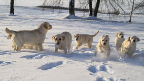 Yellow Labrador puppy playing on the snow Royalty Free Stock Images