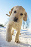 Yellow Labrador puppy playing on the snow Royalty Free Stock Photo