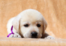 Yellow labrador puppy portrait close up Royalty Free Stock Images