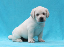 Yellow labrador puppy portrait close up Stock Photography