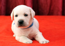 Yellow labrador puppy portrait close up on red Stock Image