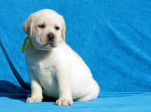 Yellow labrador puppy portrait close up Royalty Free Stock Image