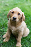 Yellow Labrador Puppy stock image
