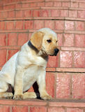 Yellow labrador puppy portrait Royalty Free Stock Photography