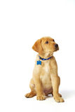 Yellow Labrador Puppy. Portrait of a yellow lab puppy on white background Royalty Free Stock Photography