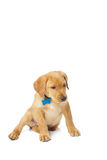 Yellow Labrador Puppy. Portrait of a yellow lab puppy on white background Stock Photo