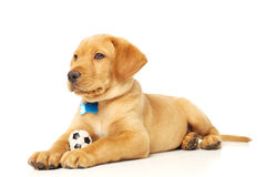 Yellow Labrador Puppy. Portrait of a yellow lab puppy on white background Stock Images