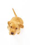 Yellow Labrador Puppy. Portrait of a yellow lab puppy on white background stock photography