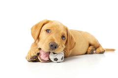 Yellow Labrador Puppy. Portrait of a yellow lab puppy on white background royalty free stock photos