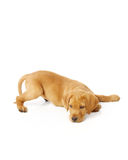 Yellow Labrador Puppy. Portrait of a yellow lab puppy on white background stock image