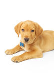 Yellow Labrador Puppy. Portrait of a yellow lab puppy on white background Royalty Free Stock Image