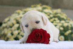 Yellow labrador puppy with a red rose Royalty Free Stock Images