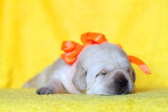 Yellow labrador puppy sleeping portrait Royalty Free Stock Images