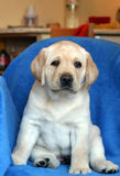 Yellow labrador puppy on the sofa Stock Photo