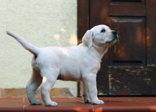 Yellow labrador puppy standing at the door Stock Photography