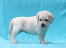 Yellow labrador puppy standing portrait close up Royalty Free Stock Photo
