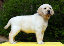 Yellow labrador puppy standing on yellow background Stock Images