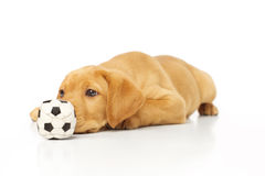 Yellow Labrador Puppy Staring at Toy. Portrait of a yellow lab puppy on white background royalty free stock photography
