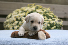 Yellow labrador puppy with a toy Stock Image