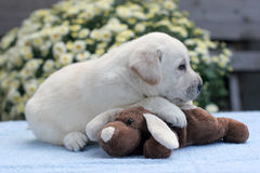 Yellow labrador puppy with a toy Royalty Free Stock Image