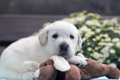 Yellow labrador puppy with a toy Royalty Free Stock Images