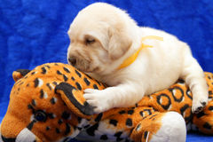 Yellow labrador puppy on the toy tiger Royalty Free Stock Photos