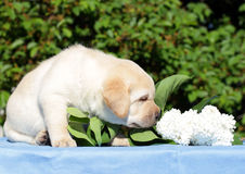 Yellow labrador puppy with white flowers Stock Images