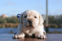 Yellow labrador puppy on the wooden table Stock Photography