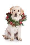 Yellow labrador puppy with a wreath Royalty Free Stock Photos