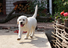 Yellow labrador puppy in the yard Stock Photography