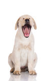 Yellow labrador puppy yawning Stock Images