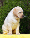 Yellow labrador puppy on yellow background Royalty Free Stock Photography