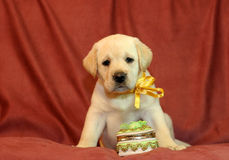 Yellow labrador puppy in yellow ribbon Royalty Free Stock Image