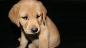 Yellow labrador puppy2. Cute 7 week old Yellow labrador puppy isolated on black stock photos