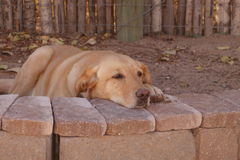 A yellow labrador resting. Stock Images